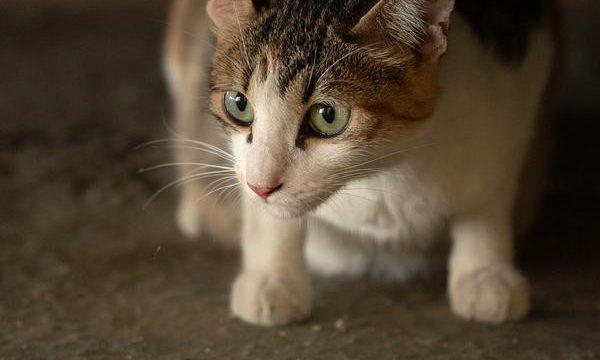 Los problemas digestivos en los gatos