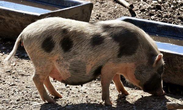 Alimentación para los cerdos de acuerdo con su desarrollo corporal