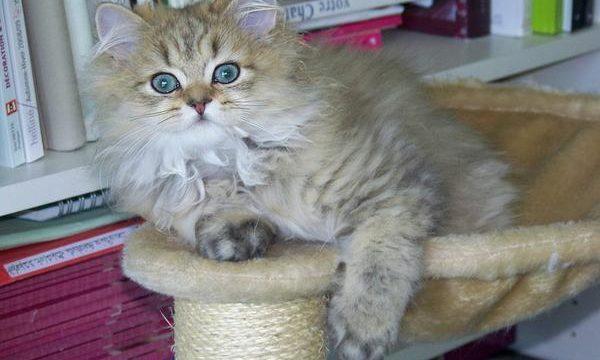 Tener un gato persa en casa, consejos y recomendaciones