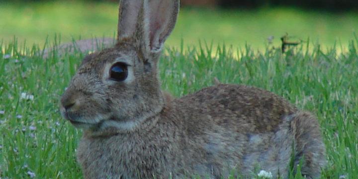 ¿Como se debe cuidar a un conejo mascota en casa?