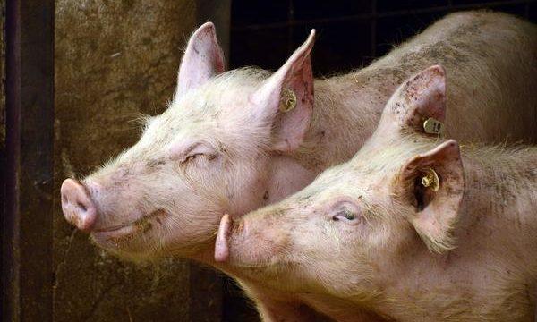Vacunación en el ganado porcino, necesidad y alcances