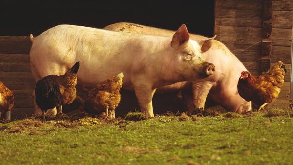 Ganado porcino, sistemas de producción y atenciones veterinarias