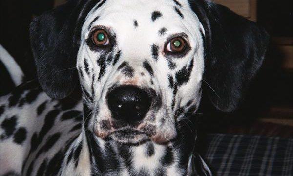 Consejos y recomendaciones para cuidar a un perro dálmata
