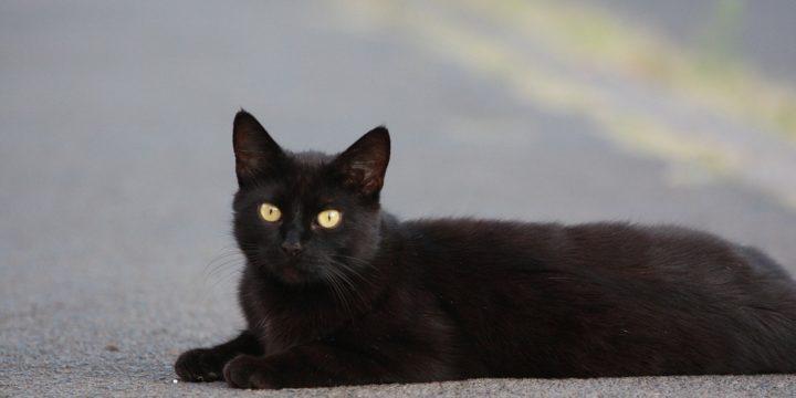 Consejos y recomendaciones para cuidar al Gato Bombay