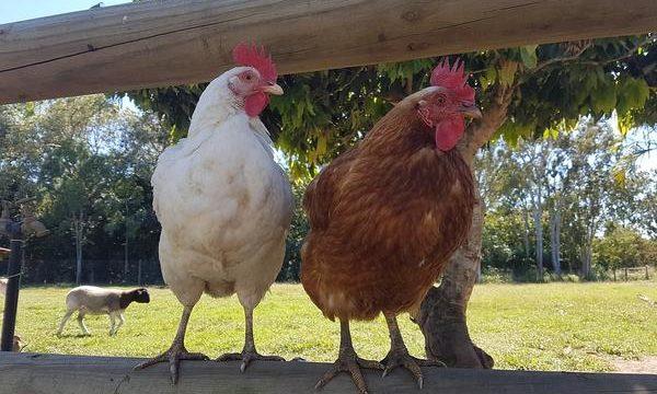 El problema de la viruela aviar en las granjas