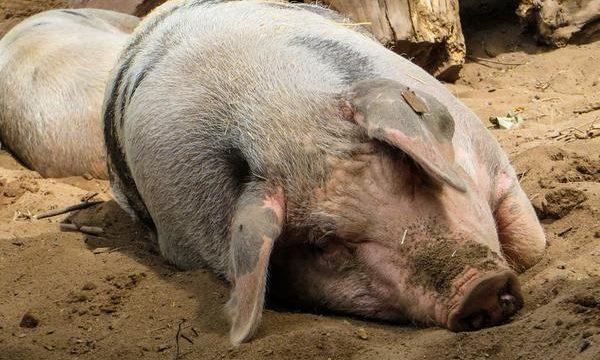 El problema de la cojera en el ganado porcino