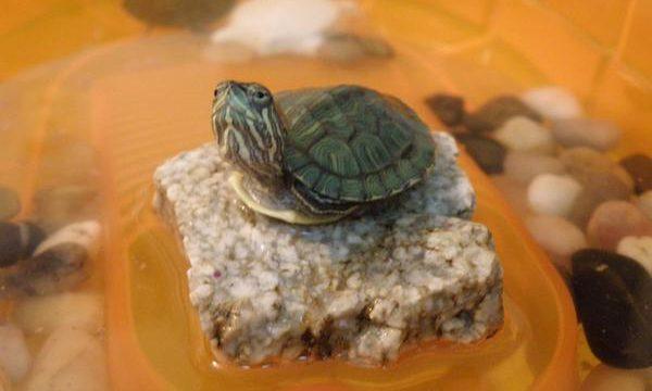 Consejos para cuidar a una tortuga de tierra