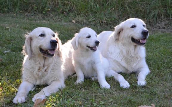 El uso de aspirina en los perros