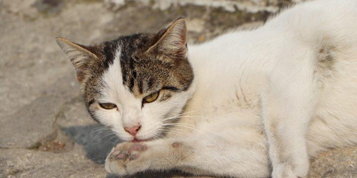 La desparasitación del gato, consejos y recomendaciones
