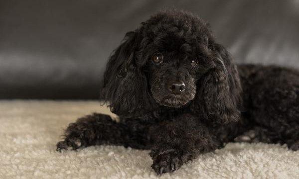 Mejores razas caninas para tener como mascota en departamento