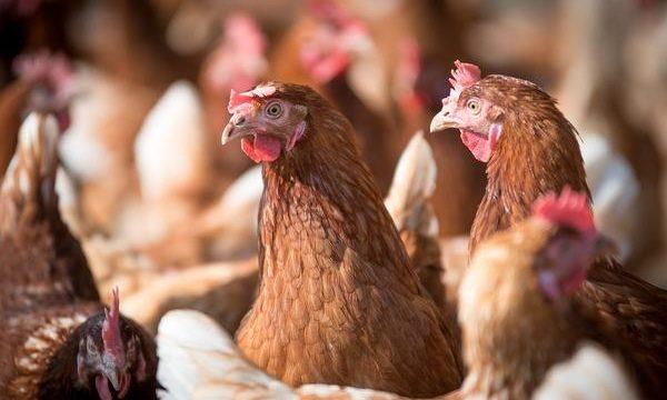 El problema de los piojos en las aves de corral