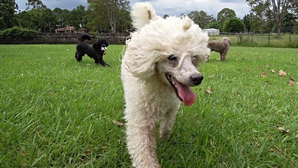Enfermedades más frecuentes en los perros poodle