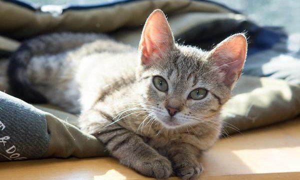 Mi gato se desvanece con frecuencia ¿Qué hacer?