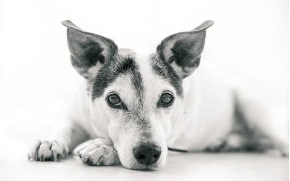 El problema de los ataques epilépticos en los perros