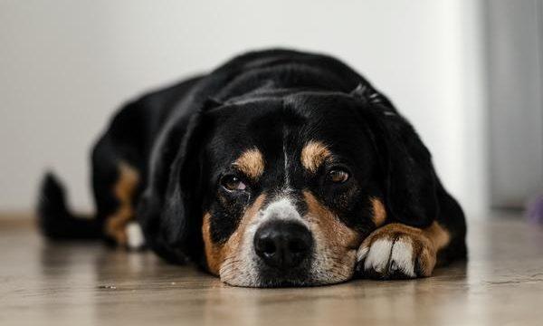 Perros que se lamen las patas constantemente, ¿cómo tratar este problema?