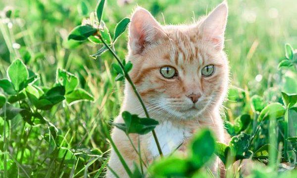 Hinchazón de nariz en los gatos, posibles causas