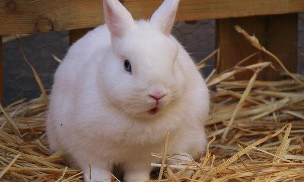 El problema de la mastitis en los conejos de granja