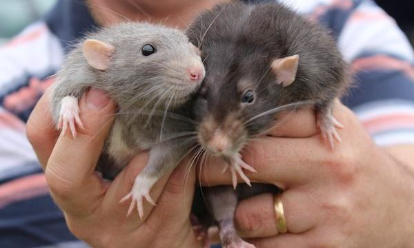 Cuáles son las principales enfermedades que transmiten las ratas