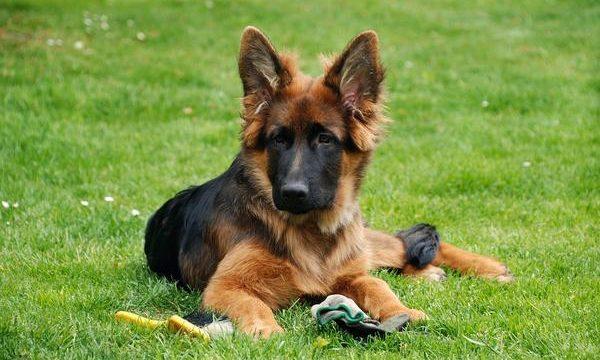 El uso del diclofenaco en los perros