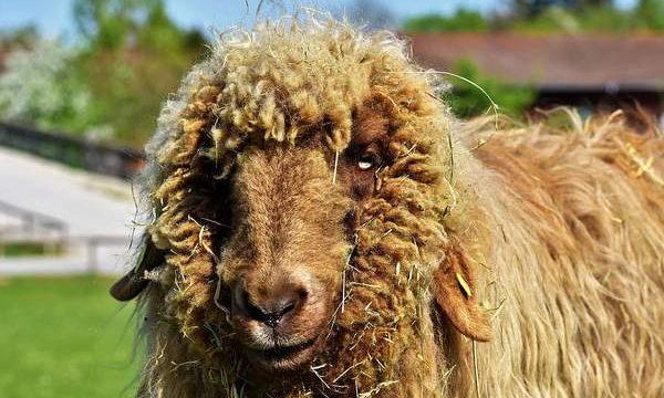 Cómo combatir la sarna en las ovejas