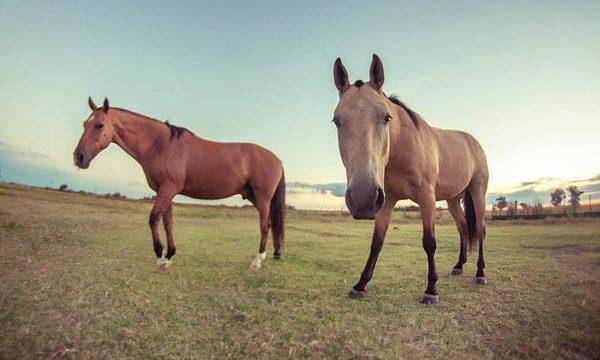 Cría y cuidados para el caballo de granja