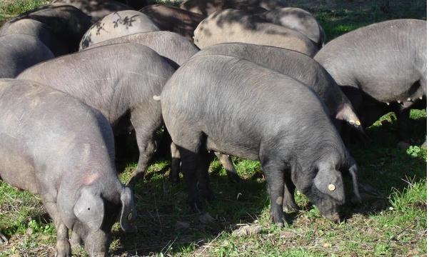 Cómo es el comportamiento del cerdo