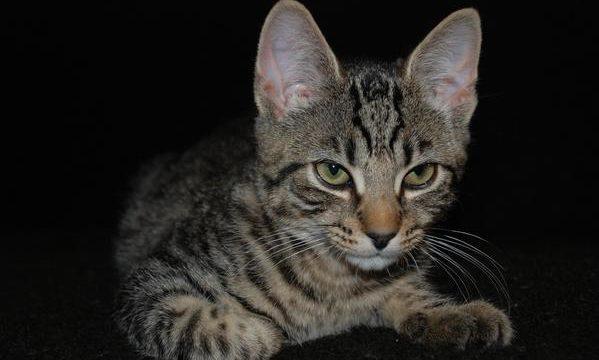 El problema del linfoma en los gatos