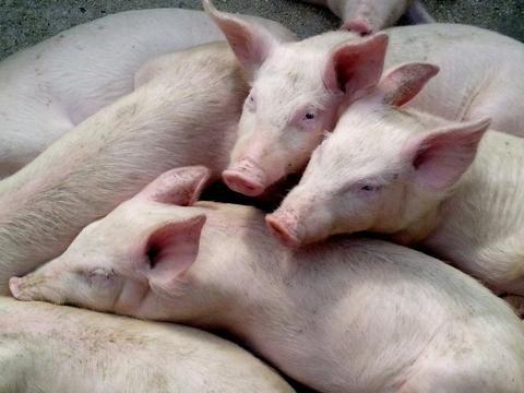 Sarna y otros parásitos externos del ganado porcino