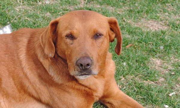 El problema del hígado graso en los perros