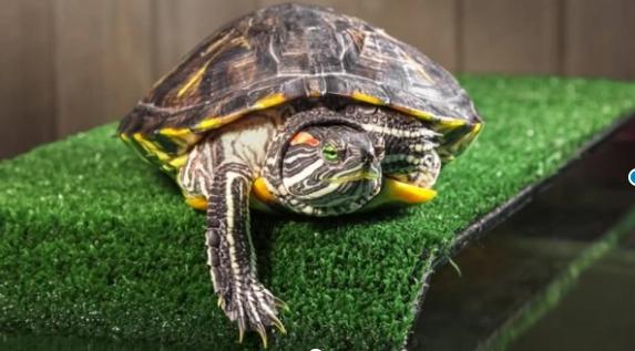 Cuáles son las principales enfermedades de las tortugas