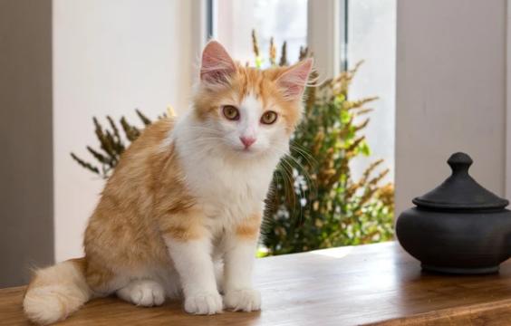 Los gatos y el coronavirus Covid 19