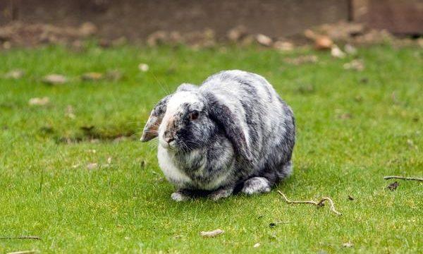 ¿Por qué los conejos tienen las orejas caídas?