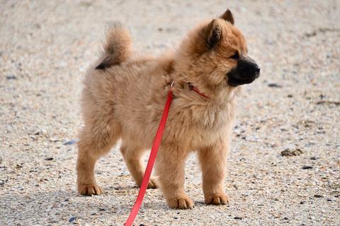 El problema de la tos seca en los perros