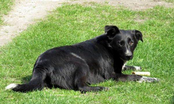 Soluciones veterinarias para aliviar el dolor en los perros