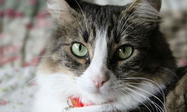 El problema del asma en los gatos