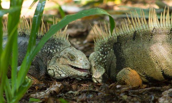 Cuáles son las principales enfermedades de las iguanas