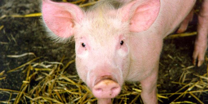 Por qué es importante e indispensable vacunar al ganado porcino