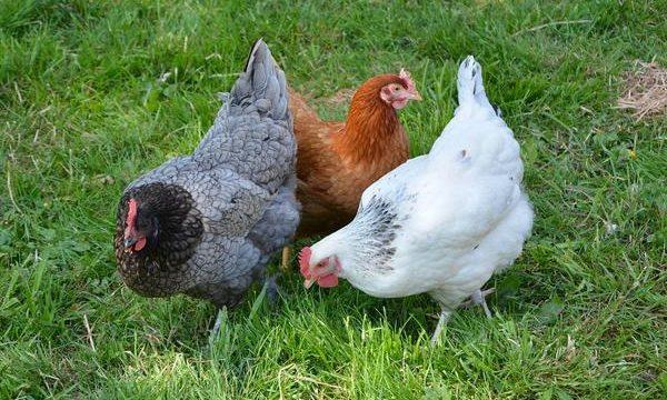 Principales enfermedades virales que afectan a las aves de corral