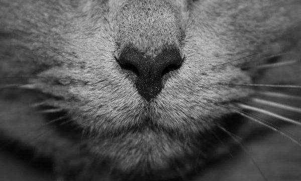 Mi gato tiene la nariz blanca, ¿Por qué?