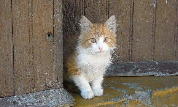 ¿Cuáles son las principales enfermedades que padecen los gatos?