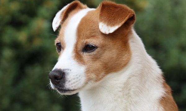 Perros con las orejas caídas, una explicación veterinaria