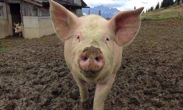 Cómo garantizar las mejores condiciones de crianza para el ganado porcino