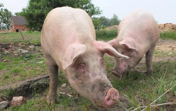 Influenza y cría de cerdos, riesgos y precauciones que se deben seguir