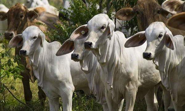 Como prevenir las principales enfermedades que afectan a los bovinos