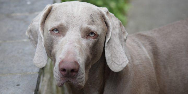 El problema del soplo en el corazón en los perros