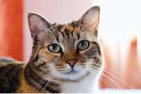 Gatos mascota que no tienen el crecimiento adecuado, causas y tratamiento