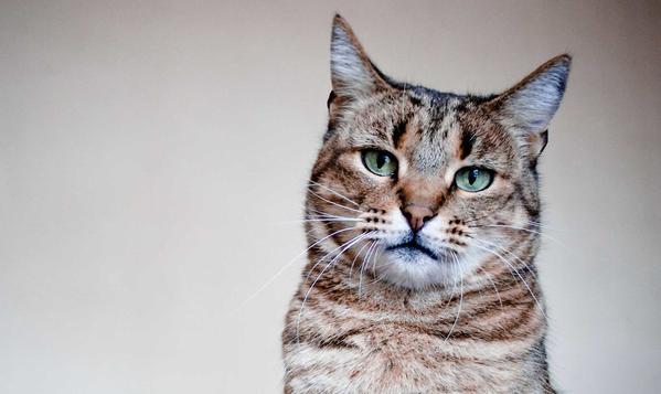 Cómo se atiende la insuficiencia renal en el gato