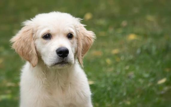 El problema de las encías negras en los perros