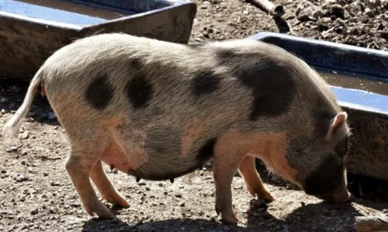 Factores que propician la aparición del síndrome del estrés porcino