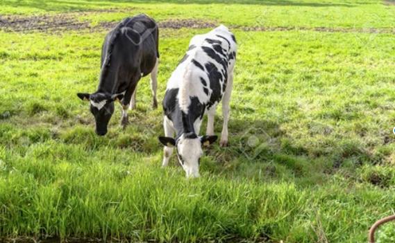 El problema de la babesiosis en el ganado bovino